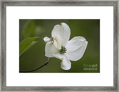 Dogwood Blossom Framed Print by Arlene Carmel
