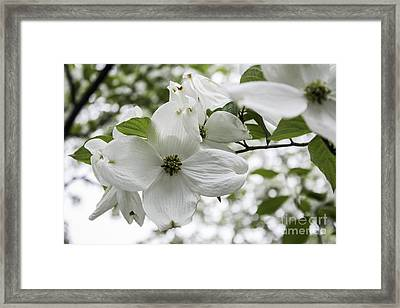 Dogwood Floret Framed Print by Arlene Carmel