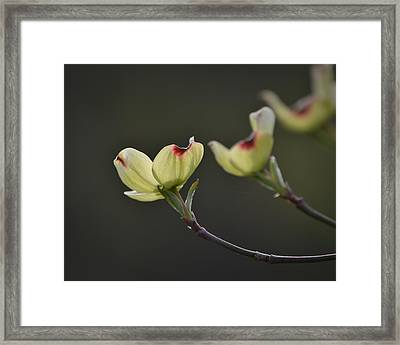Dogwood Tree Framed Print by Mary Zeman