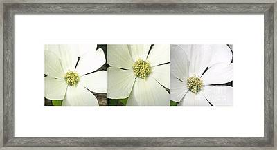Dogwood Triad Framed Print by Janet Berch