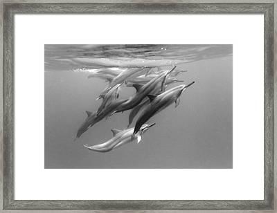 Dolphin Pod Framed Print by Sean Davey