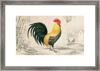 Domestic Cock Framed Print by Edouard Travies