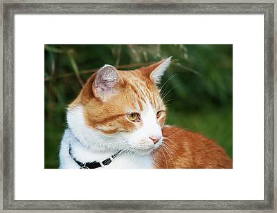 Domestic Shorthair Cat Marmalade Framed Print by Piperanne Worcester