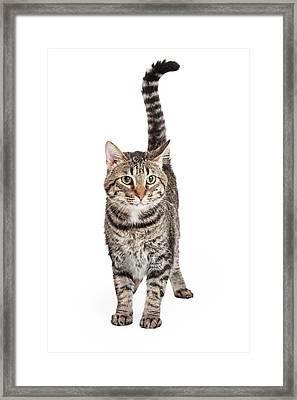 Domestic Shorthair Tabby Cat Standing Framed Print by Susan  Schmitz
