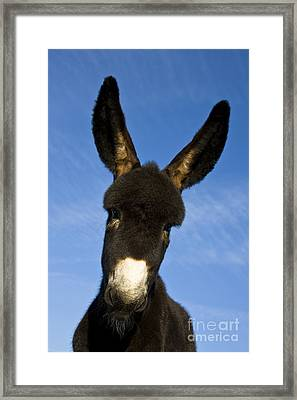 Donkey Foal Framed Print by Jean-Louis Klein and Marie-Luce Hubert