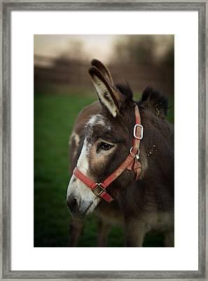 Donkey Framed Print by Shane Holsclaw