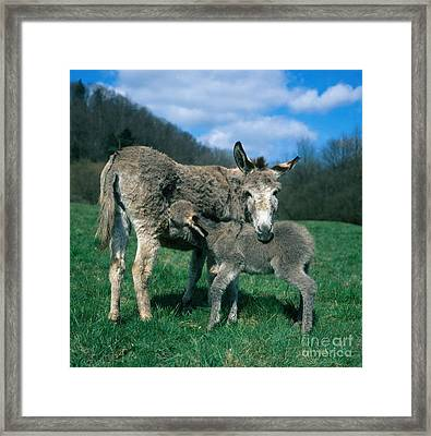 Donkey With Young Framed Print by Hans Reinhard