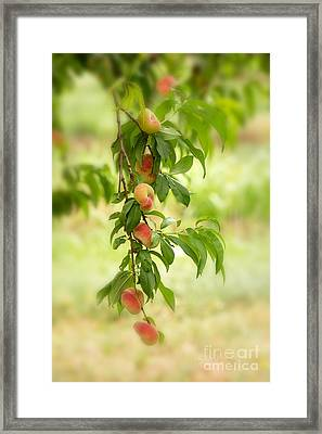 Donut Peaches Framed Print by Iris Richardson