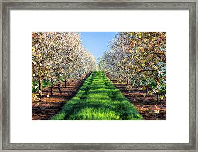 Door County Cherry Blossoms Row Framed Print by Christopher Arndt