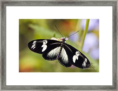 Doris Longwing Butterfly Framed Print by Oscar Gutierrez
