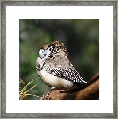 Double-barred Finch Tete-a-tete Framed Print by Margaret Saheed