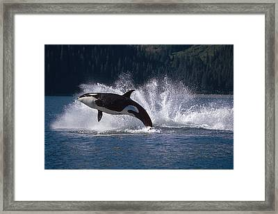 Double Breaching Orcas Bainbridge Framed Print by Calvin Hall
