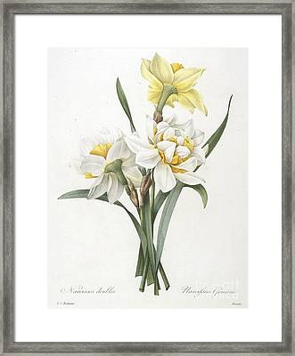 Double Daffodil Framed Print by Pierre Joseph Redoute