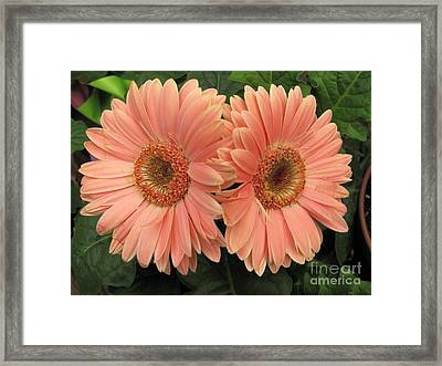 Double Delight - Coral Daisies Framed Print by Dora Sofia Caputo Photographic Art and Design
