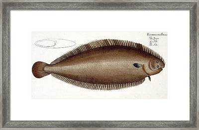 Dover Sole Framed Print by Andreas Ludwig Kruger