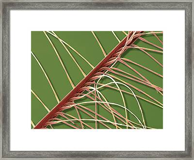 Down Feather Framed Print by Steve Gschmeissner