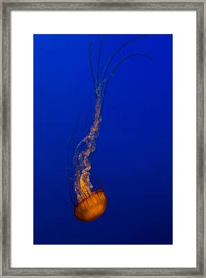 Downward Facing Pacific Sea Nettle 3 Framed Print by Scott Campbell