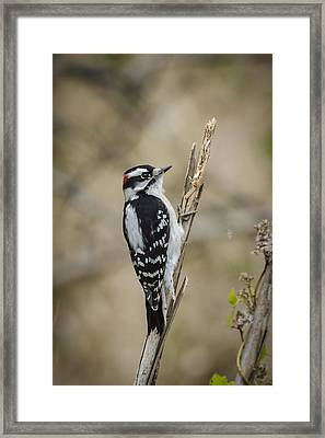 Downy On Cattail Framed Print by Bradley Clay