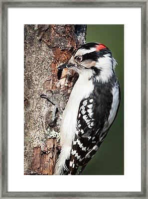 Downy Woodpecker Framed Print by Bill Wakeley