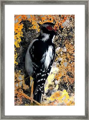 Downy Woodpecker Framed Print by Mike Breau