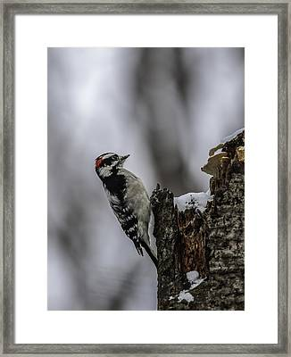 Downy Woodpecker Framed Print by Thomas Young