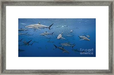 dozens of pelagic Silky Sharks feeding on baitfish in tropical Mexican waters Framed Print by Brandon Cole