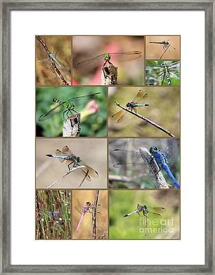 Dragonfly Collage 3 Framed Print by Carol Groenen