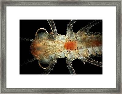 Dragonfly Larva Framed Print by Frank Fox