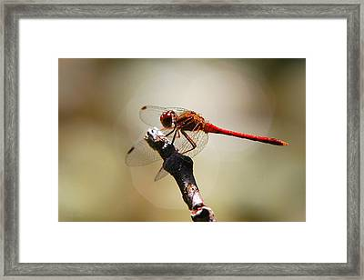 Dragonfly Light Framed Print by Christina Rollo