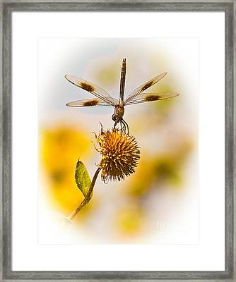 Dragonfly On Dead Bud Framed Print by Robert Frederick