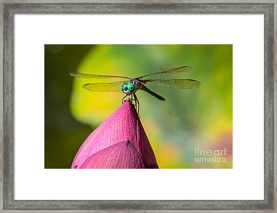 Dragonfly On Waterlily Framed Print by Inge Johnsson