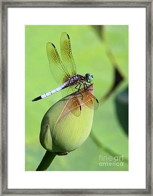 Dramatic Dragonfly Framed Print by Sabrina L Ryan