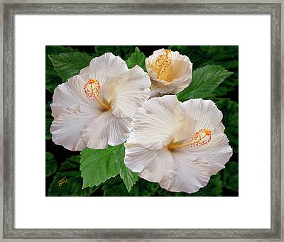 Dreamy Blooms - White Hibiscus Framed Print by Ben and Raisa Gertsberg