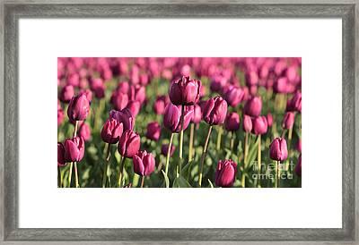 Dreamy Purple Tulips Framed Print by Carol Groenen