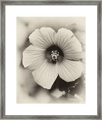 Dreamy Sepiatone Rosette Hibiscus Framed Print by Sabrina L Ryan