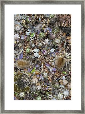 Dried Flower Seeds Framed Print by Tim Gainey