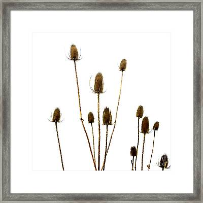 Dried Thistle Framed Print by Bernard Jaubert