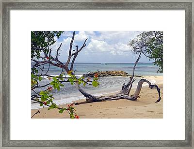 Driftwood On The Beach In Barbados Framed Print by Willie Harper