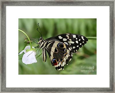Drinks With A Giant  Swallowtail Framed Print by Ruth Jolly