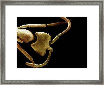 Driver Ant Head Framed Print by Clouds Hill Imaging Ltd