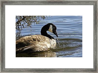 Drooling Canada Goose Framed Print by Jean Noren
