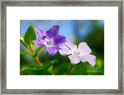 Drops On Violets Framed Print by Carlos Caetano