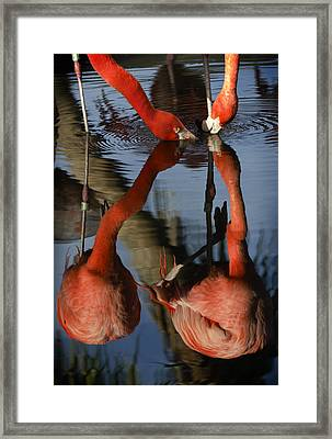 Dual Flamingo Reflections Framed Print by Dave Dilli