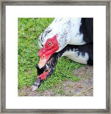Duck Love Framed Print by Cynthia Guinn