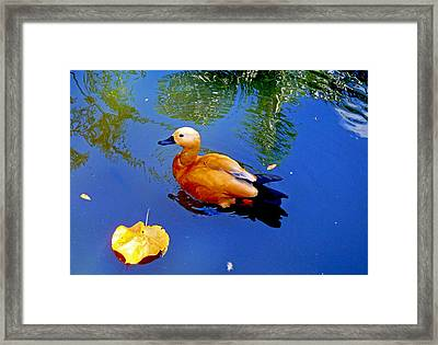 Duck Pond Framed Print by Carey Chen