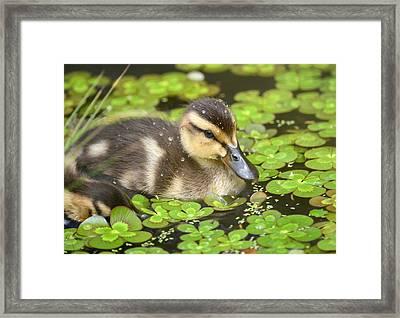 Duck Soup 3 Framed Print by Fraida Gutovich
