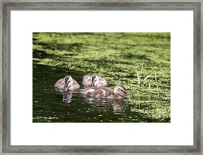 Duckies Three Framed Print by Sharon Talson