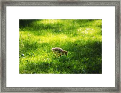 Duckling Framed Print by Bill Cannon