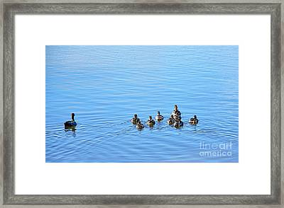 Ducklings Day Out Framed Print by Kaye Menner