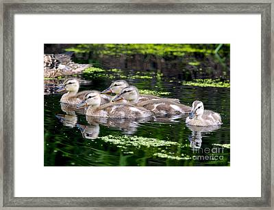 Ducklings Five Framed Print by Sharon Talson